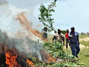 SAPS-Burning-Down-Dagga-Forest
