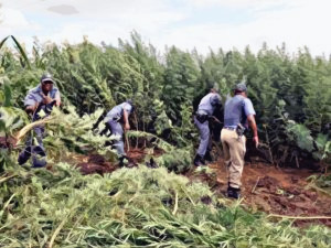 SAPS-Cutting-Down-Dagga-Forest